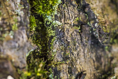 20160328_F0001: Micro cliff or macro jungle? (wfxue) Tags: plant macro tree texture nature moss surface bark lichen