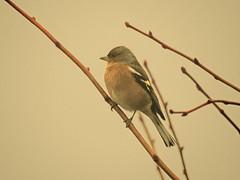 Chaffinch - Fringuello (ermenegildore) Tags: birds chaffinch fringuello