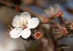 09-IMG_9595 (hemingwayfoto) Tags: blte baum kirschblte obstbaum kirschbaum blhen weis obstbaumblten