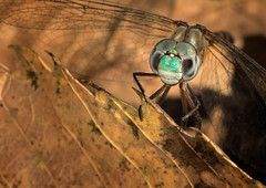 Resting Upon A Leaf (Inge Vautrin Photography) Tags: macro green nature face closeup insect outdoors leaf eyes dragonfly insects animalplanet macrophotography