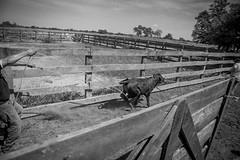 El trabajo en la estancia ganadera (julia zabrodzka) Tags: paraguay chaco vacas praca gaucho vaquero krowy paragwaj kowboj byczek trabajodelosvaqueros