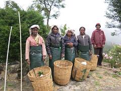 Tea Pickers ready to start the day - In the grounds of the Heritance Tea Factory Hotel Nuwara Eliya Sri Lanka (WanderingPhotosPJB) Tags: srilanka nuwaraeliya heritanceteafactory teapickers pluckers tea teaestate plantation