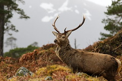 Red Deer Stag (Ally.Kemp) Tags: red wild scotland stag scottish glen deer stags invernessshire cannich