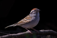 Chipping Sparrow (Doug Scobel) Tags: sparrow chipping passerina spizella