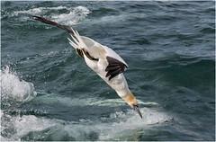 Gannet (Antony Ward) Tags: birdsinflight seabirds northerngannet bempton