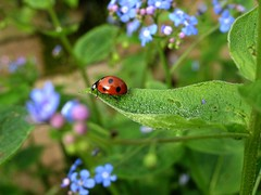 lady bug and forget me nots (wengreen1) Tags: flowers nature garden calming bugs ladybug creatures