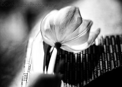 The beauty of a flower Black and White (cathbooton) Tags: blackandwhite flower nature depthoffield tulip canoneos canonusers