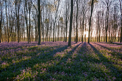 Bluebell dawn (Wizmatt) Tags: flowers blue england green nature sunshine forest photoshop sunrise woodland landscape dawn shadows shine bell hampshire april british bluebell hdr siun sigma1020 hyacinthoides nonscripta canon70d