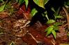 Bothrophs asper (Fer-de-Lance) (jd.willson) Tags: costa nature station de la rainforest snake wildlife selva rica jungle lance tropical jd viper biological herps fer venomous willson asper fieldherping ferdelance bothrops herping jdwillson terceopelo