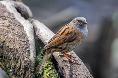 Dunnock (worlknut) Tags: bird canon flash flight 7d mk2 pennington
