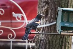 Red Winged (MattPenning) Tags: bird bokeh sony birdfeeder potd m42 avian redwingedblackbird oldglass mattpenning manuallens chestertonindiana mattpenningcom penningphotography a6000 scewmount focuspeaking sonyalpha6000 ilce6000 ashaisupertakumar11985mm