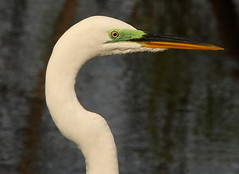 3S5X0139  Eye Makeup (Eileen Fonferko) Tags: nature wildlife greategret breedingplumage droh dailyrayofhope