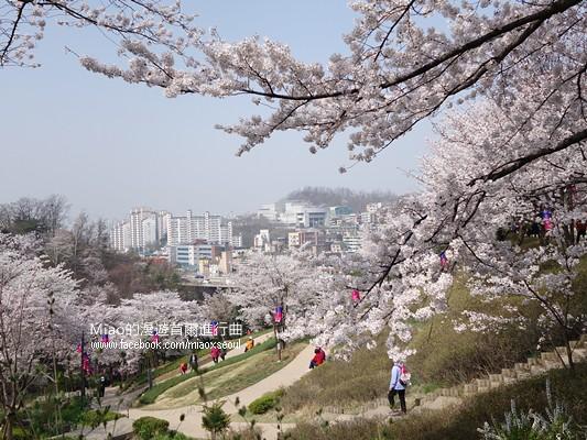 안산공원벚꽃10