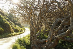 Fairytale Trees II (sweet.disposition) Tags: california morning trees nature fairytale bigsur pfeifferbeach