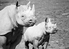 Mother and Son (alex) Tags: portrait blackandwhite bw baby animals mammal zoo blackwhite kent child mother horns mum rhino rhinoceros blackrhino howlettswildanimalpark aspinallfoundation