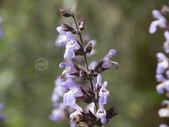 profumi di primavera. (dadoph_) Tags: macro primavera nikon salvia coolpix fiore pianta salvie p500 2016 profumi allaperto