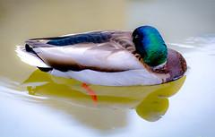The Floater. (Omygodtom) Tags: sleeping wild abstract nature outdoors duck nikon natural wildlife scene mallard animalplanet funnystuff d7100 nikon70300mmvrlens
