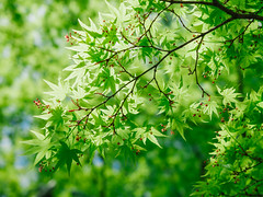 / Fresh Green is On! (sunnywinds*) Tags: summer maple kyoto bokeh hasselblad momiji japanesemaple  wwf springtime   distagont450fle wwfday
