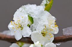 Eis.Blume - Pflaume on the Rocks (unkel.unterwegs) Tags: schnee deutschland frost blumen april eis blte kiel schleswigholstein klte pflaume