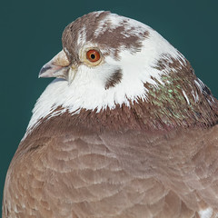 On the red eye. (Sean Hartwell Photography) Tags: red wild macro eye ginger harbour pigeon wildlife feathers hampshire portsmouth british feral columbidae