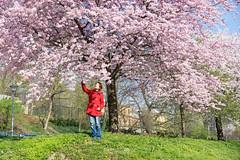 (bgfotologue) Tags: landscape photography photo spring europe czech prague image praha cherryblossom czechrepublic sakura imaging charlesbridge vltava  bohemians cpl   centraleurope   2016      bgphoto  esko  eskrepublika 500px  tumblr  bellphoto