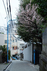 (  / Yorozuna) Tags: road plant flower tree japan tokyo alley backalley blossom downhill alleyway    slope  plumblossom                akebonobashi    slopingroad   shinjukuward wakamatsukawada pentaxautotakumar55mmf18