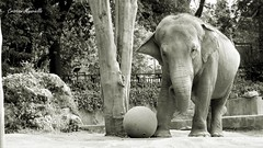 New champion (Cristian Mauriello) Tags: park italy elephant black rome roma nature monochrome animal ball italia play villa while bianco nero animali elefante gioco borghese palla pallone bioparco