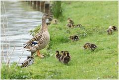 op de kleintjes letten (HP009303) (Hetwie) Tags: bird nature duck nederland natuur chicks mallard vogel vijver noordbrabant helmond wildeeend watervogel wijkpark brouwhuis eendjeskuiken