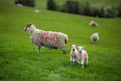 42 (aveyardphotography) Tags: trees green wool grass high sheep yorkshire hill lambs fleece stittenham