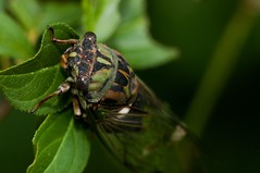 2015 Annual Cicada (Tibicen canicularis) 3 (DrLensCap) Tags: park chicago robert nature bug cicada insect illinois village north center il annual kramer tibicen canicularis