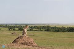 Sentinelle (grimaux.jordan) Tags: africa landscape feline kenya save cheetah savannah sentinel acinonyx jubatus termitary