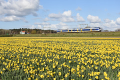 SLT at Hillegom, April 17, 2016 (cklx) Tags: holland spring daffodils narcissen 2016 bollenstreek hillegom sprinterlighttrain