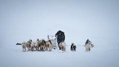 Sled dog team (Lil [Kristen Elsby]) Tags: arctic canong12 greenland travelphotography greenlandicdogs westgreenland vestgronland arcticcircle sleddogs dogsled dogsledding musher ilulissat editorial topf25 topv1111