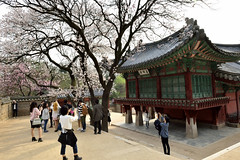 spring (withcamera) Tags: flowers trees spring seoul southkorea oldbuilding springflowers gyeongbokgung springtime  changgyeonggung   plumblossoms  nationalpalace