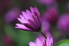 Purple Rain (! Nature Bx !) Tags: flower nature fleur rain drops eau purple violet pluie prince hommage gouttes dimorphoteca img7122