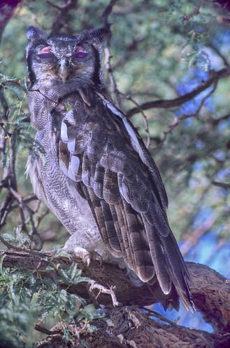 Verreaux's Eagle Owl, Kgalagadi National Park