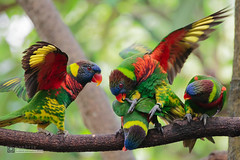 Bullies (syphrix photography) Tags: park blue red tree green bird loft canon photography fight rainbow singapore branch bright outdoor group wing lorikeet parrot aviary lory colourful jurong bully plumage birdpark 2016 behaviour arboreal trichoglossus haematodus syphrix