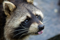 so cute (grasso.gino) Tags: portrait cute nature animals tongue closeup zoo tiere nikon zoom natur raccoon gelsenkirchen zunge niedlich waschbr d5200
