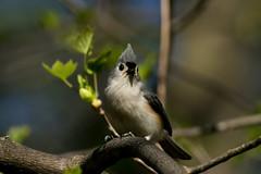 titmouse 2 (Rebecca Wolff) Tags: nature virginia spring wildlife tuftedtitmouse northernvirginia 2016 nottowaypark
