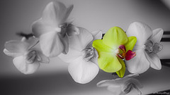 Blaze of phalaenopsis aphrodite (VincenzoGhezzi) Tags: flowers wallpaper bw orchid nature canon photography 50mm blackwhite ngc phalaenopsis