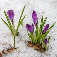 Crocus in snow (Antti Tassberg) Tags: snow plant flower macro nature lens prime spring crocus 100mm squareformat lumi kasvi luonto kevt kukka pisara krookus