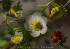 Strawberry Lifecycle (Marco Di Ferrante) Tags: strawberry fiori vita ciclo lifecycle fragole