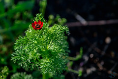 099:365 - 04/24/2016 - Green and Red Flower (Shardayyy) Tags: nikon potd photoaday 365 d800 70200mm project365 365project
