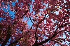 flowering cherry (matthes lr) Tags: flowers light sky plants plant flower color tree nature colors germany garden deutschland leaf spring colours fuji natur pflanzen nrw fujifilm leafs blte farbe garten baum dortmund farben frhling 1024 10mm uww floweringcherry zierkirsche xt1 drausen 1024mm