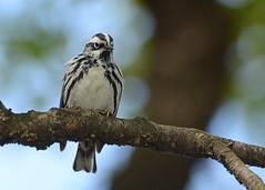 Black-and-white Warbler (JDA-Wildlife) Tags: birds nikon centralpark johnny blackandwhitewarbler warblers nikon70300mmf4556gifedafsvr warblerblackandwhite nikond7100 jdawildlife