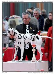 DSC_7169 (animalpicture.fr) Tags: de nikon canine exposition dalmatian internationale centrale limoges d300 2016 dalmatien