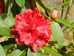 Rhododendron, Plockton, West Coast of Scotland, April 2016 (allanmaciver) Tags: sun west flower colour coast scotland shine open display rhododendron plockton hardy busg allanmaciver plockton2016