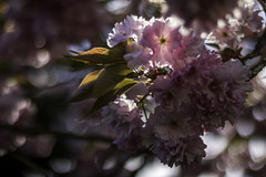 Shining Through (Romain Roellet) Tags: pink cherry 50mm photo shiny day blossom bokeh sunny days through 365 shining challenge