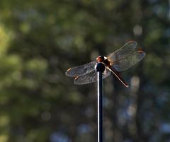 Breaktime Dragonfly (Boneil Photography) Tags: canon dragonfly bokeh powershot antenna breaktime spotmeter g16 boneilphotography brendanoneil