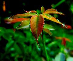 G4 macro (bharathrajneerkaje) Tags: macro green droplets drops stem g4 lg depthoffield dew leafs mobilephotography pixlr